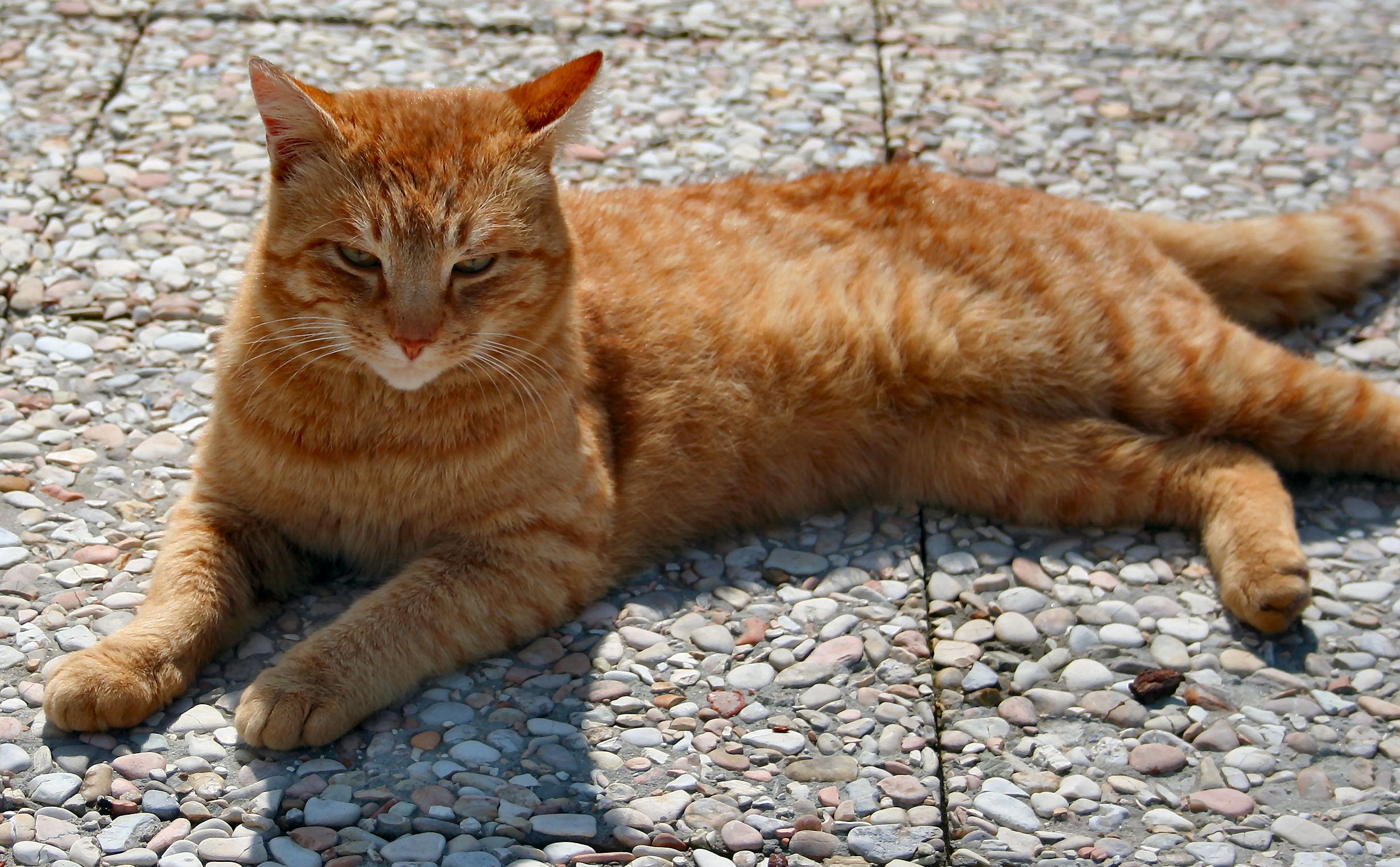 Как лежат кошки