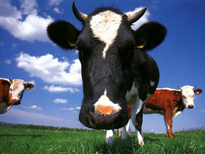 gallery for cow wallpaper