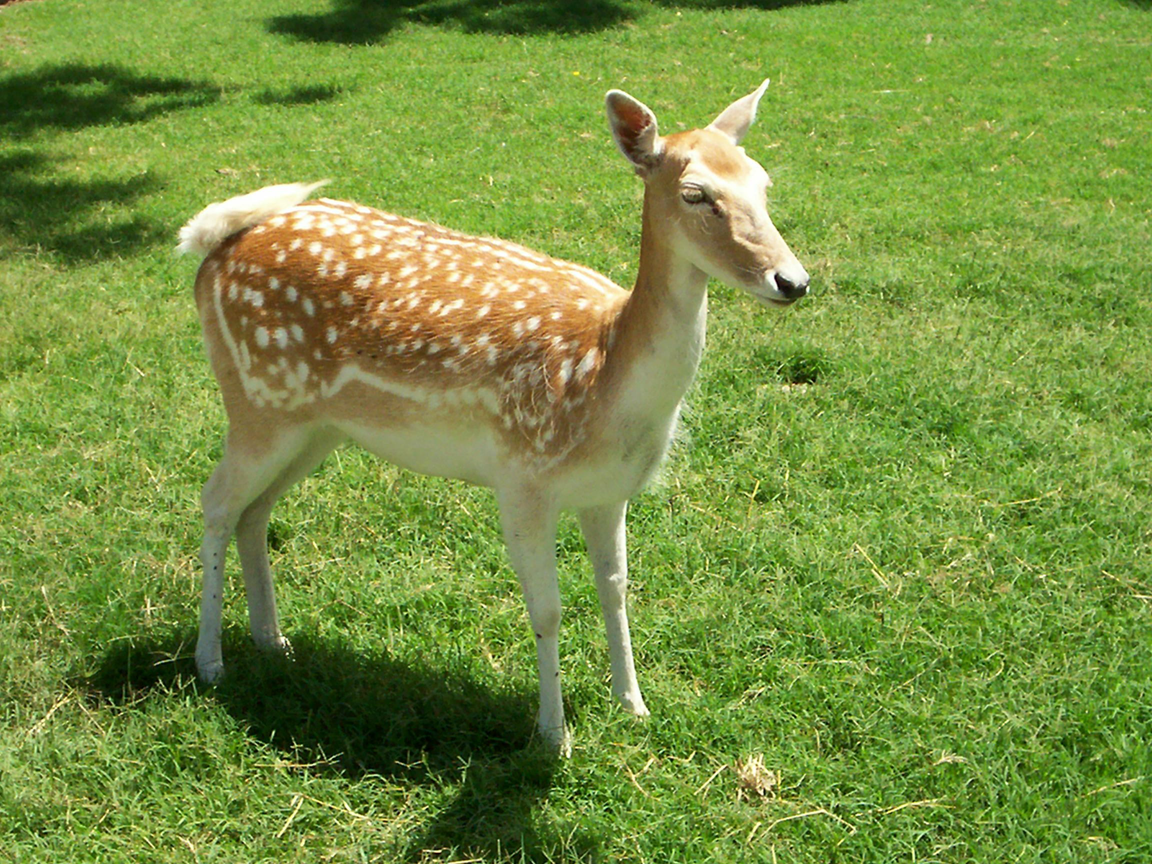 Deer Wallpapers. Images and animals Deer pictures (647)