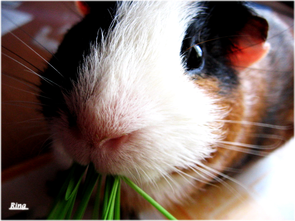 guinea pig wallpapers images and animals guinea pig