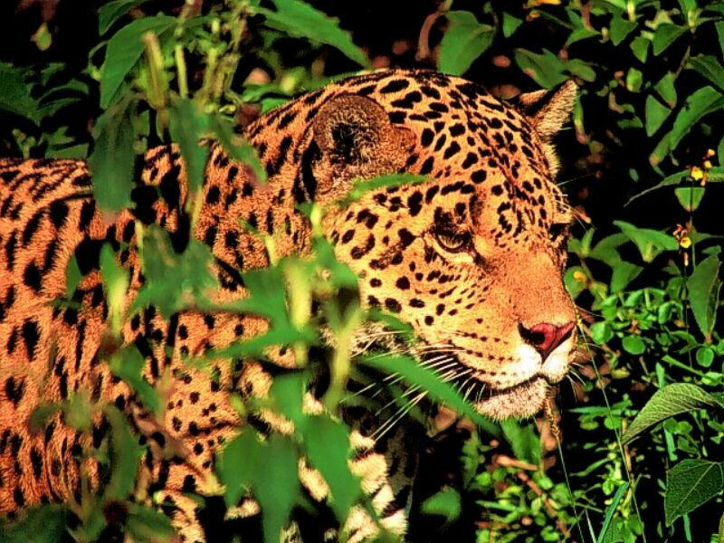 leopard wallpapers images and animals leopard pictures 700