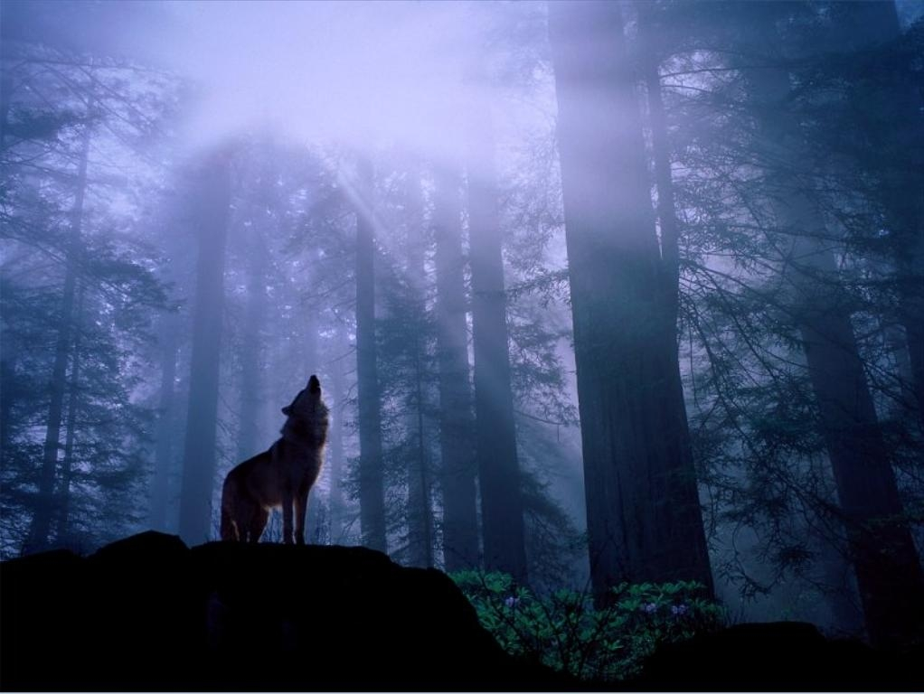 This wolf 735 wallpaper viewed 5464 persons