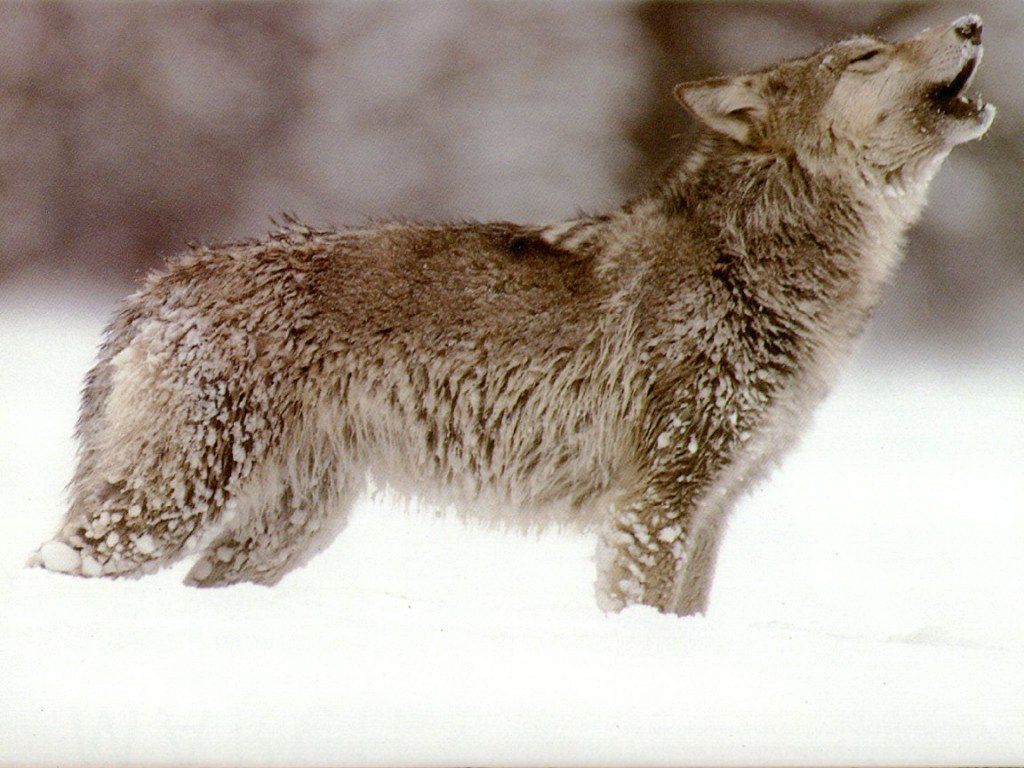 Wolf Wallpapers Images And Animals Wolf Pictures 736